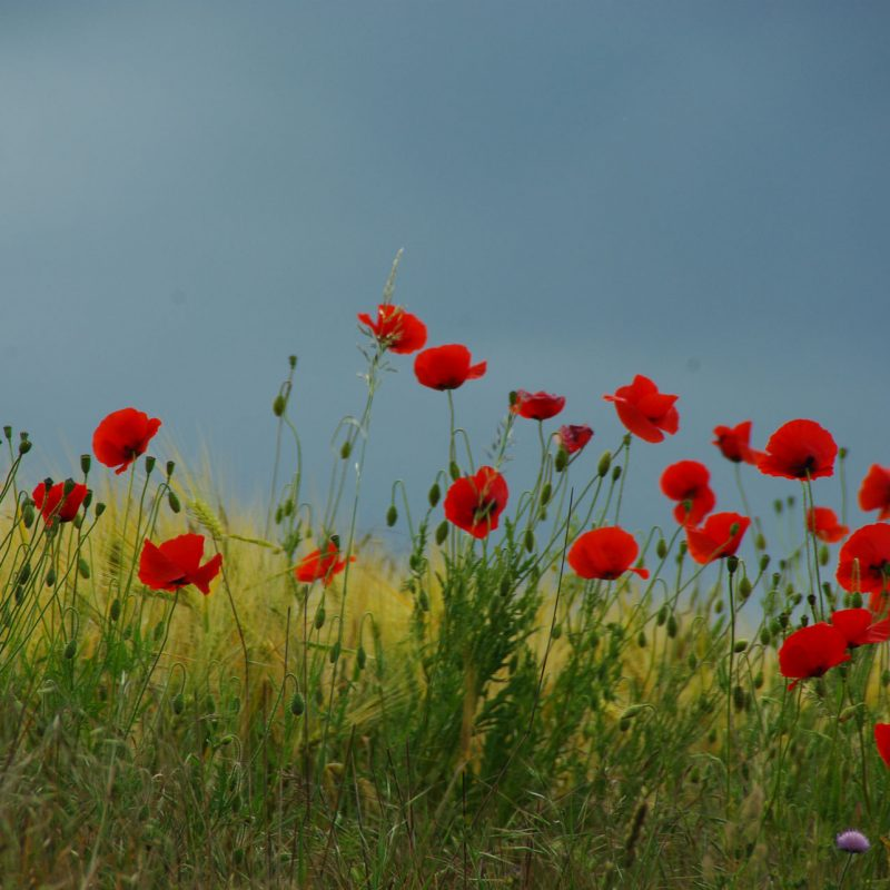 Klaprozen - In Flanders fields the poppies blow